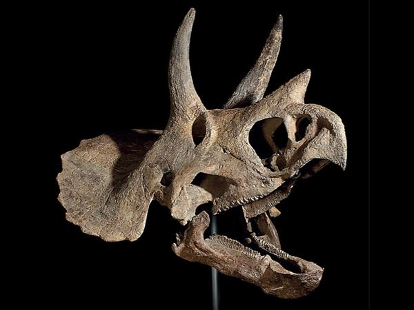 Triceratops Dinosaur Skull